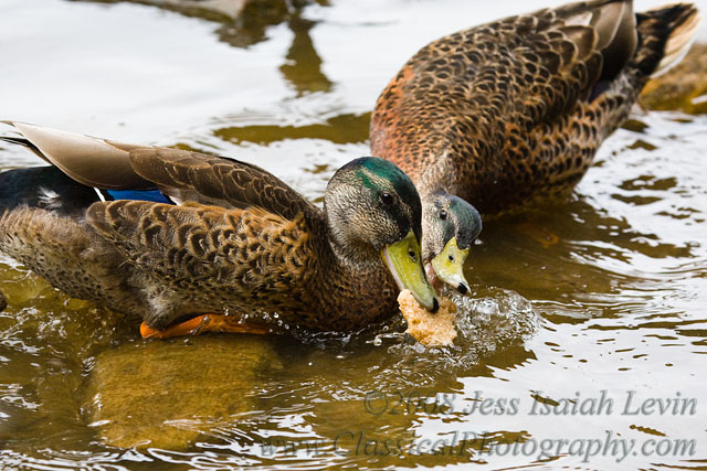 ducks fight for bread