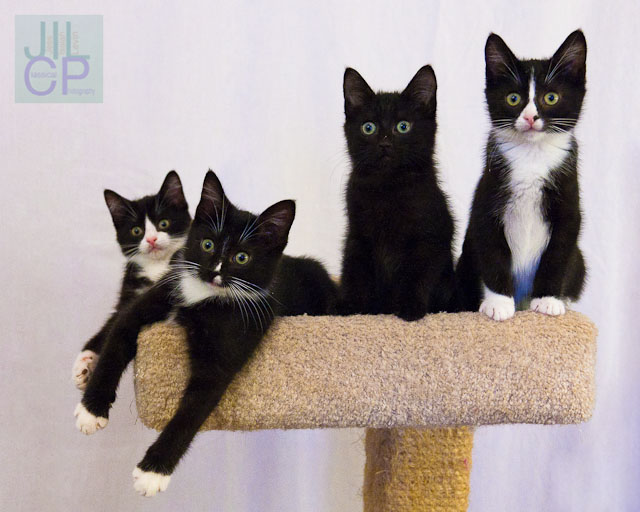 kitten quartet