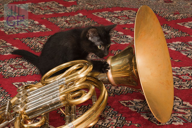 kitten with French horn